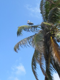 pelican in a palm