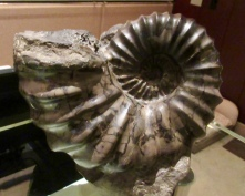 a fossil from the lobby collection