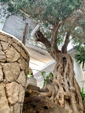 majestic old olive tree in panarea